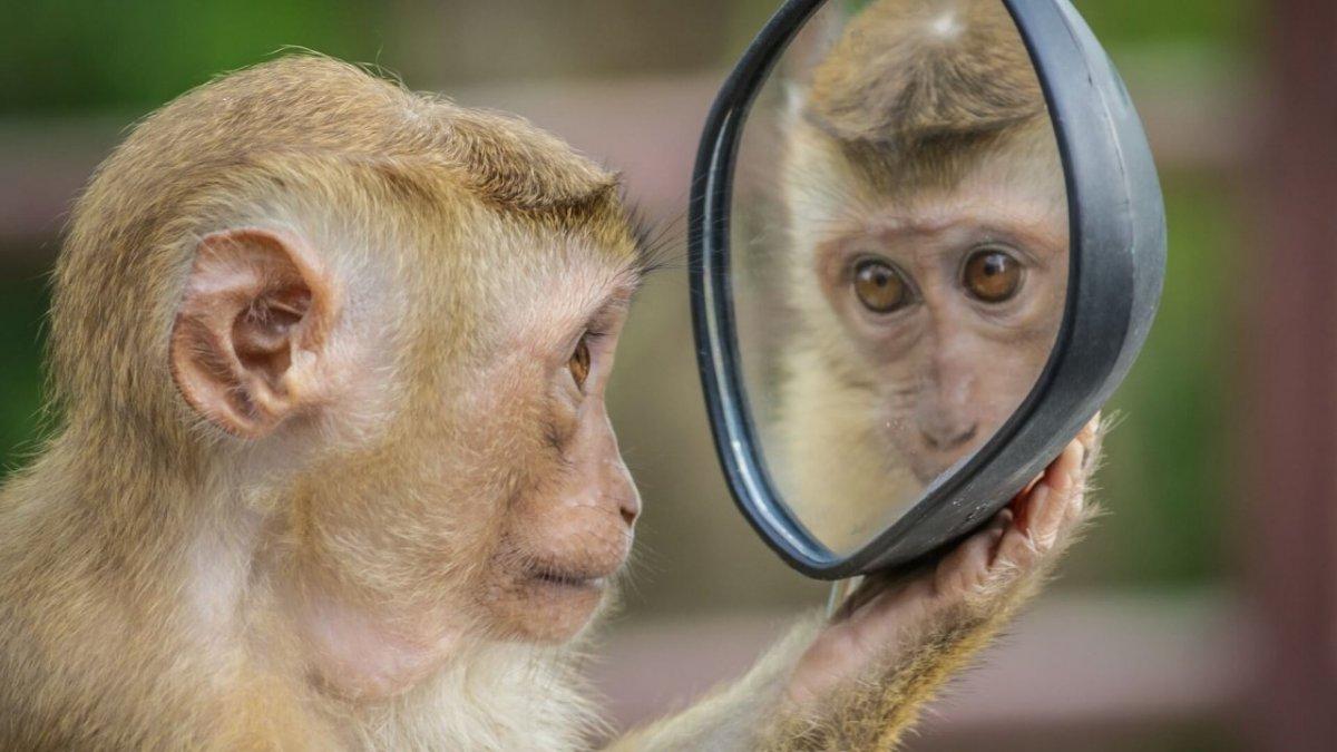 Selbstreflexion - Affe - Spiegel